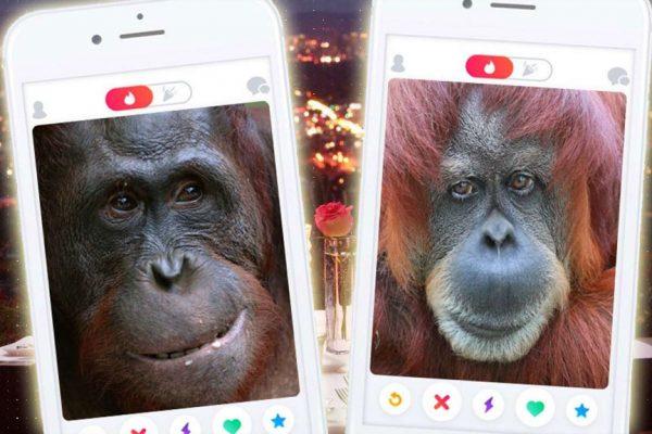 tinder-orangutan